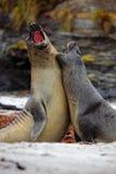 海象, Mirounga leonina,在沙子海滩的战斗 有岩石的海象在背景中 两在nat的大海洋动物 库存照片