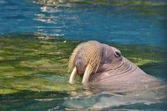海象 免版税图库摄影