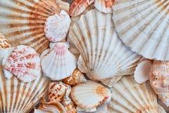 海轰击背景-美丽的贝壳宏观射击  库存照片