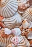 海轰击背景-美丽的贝壳宏观射击  免版税库存图片