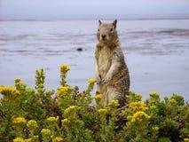 海边灰鼠 库存图片