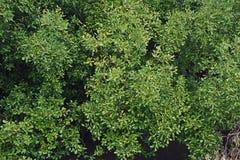 海边生态系平衡的美洲红树森林  免版税库存图片