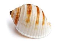 海运壳 免版税库存图片