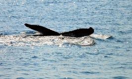 海运尾标鲸鱼 免版税图库摄影