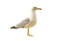 海运海鸥 库存照片