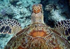 海运游泳乌龟 免版税库存照片