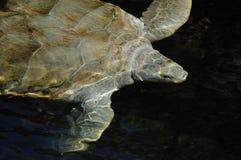 海运游泳乌龟 库存照片