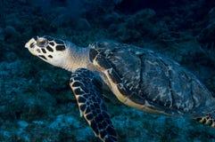 海运游泳乌龟 免版税图库摄影