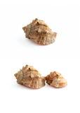 海运贝壳 免版税库存照片