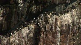 海雀科的鸟和剃刀票据在岩石壁架英国 股票录像