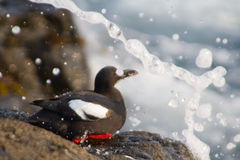 海雀科的鸟堪察加鸽子 免版税库存照片