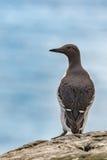 海雀科的鸟外形 库存照片