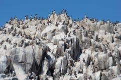 海雀科的鸟殖民地在岩石的 免版税库存图片