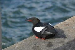 黑海雀科的鸟苏格兰 免版税库存照片