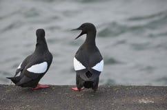 黑海雀科的鸟苏格兰 库存图片