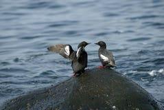 海雀科的鸟鸽子二 库存照片
