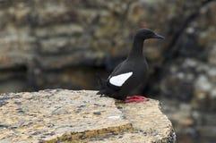 黑海雀科的鸟 库存照片