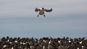 海雀科的鸟flys到殖民地里 库存照片