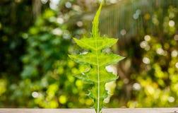 海霍莉或叶板ebracteatus,一棵草本植物为作为alt的使用 免版税库存图片