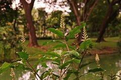 海霍莉或霍莉美洲红树 免版税库存照片
