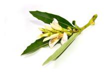 海霍莉(叶板ebracteatus Vahl) 库存图片