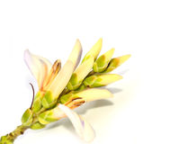 海霍莉(叶板ebracteatus Vahl) 免版税图库摄影