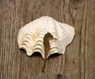 海马和海壳 免版税库存照片