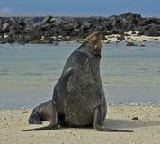 海驴属动物californianus,加利福尼亚海狮, Californische zeele 库存图片