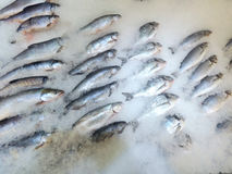 海鱼毁坏了在冰的谎言 库存图片