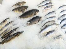 海鱼毁坏了在冰的谎言 免版税库存照片
