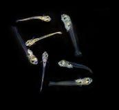 海鱼被孵化的幼虫  库存照片