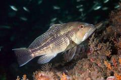 黑海鲈鱼 图库摄影