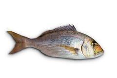 海鲷海鲷从地中海的鱼鲷 免版税图库摄影
