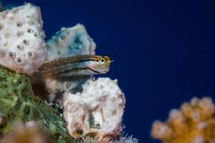 海鲷粘鱼Ecsenius海鲷宏指令  库存照片