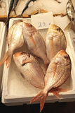 海鲷鱼 图库摄影