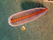海鳃 库存图片