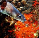 海鳗之类画象  免版税库存图片