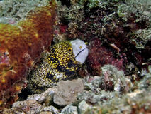 海鳗雪花 免版税库存图片