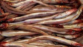 海鳗鱼(欧洲康吉鳗) 库存照片