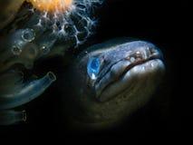 海鳗-长期海湾 库存照片