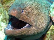 海鳗 免版税库存图片
