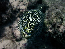 海鳗 图库摄影