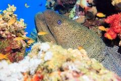 海鳗 库存照片
