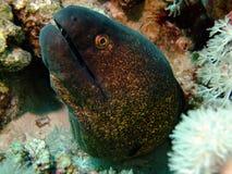 海鳗yellowmargin 库存照片
