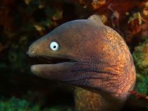 海鳝 免版税库存照片