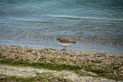 海鸟安静 库存照片
