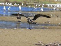 海鸟用它的食物 图库摄影