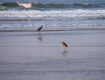 海鸟-印地安池塘苍鹭和西部礁石苍鹭在海滩 免版税库存图片