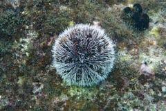 海鸡蛋或白海野孩子礁石的 图库摄影