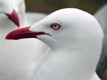 海鸥。 纵向。 免版税库存图片